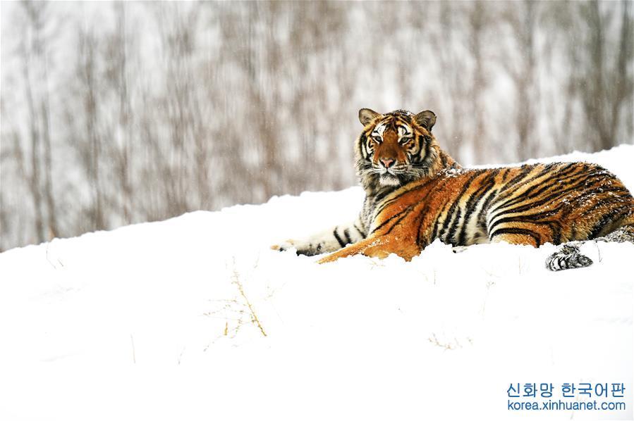 """(環境)(1)""""雪浴""""東北虎"""