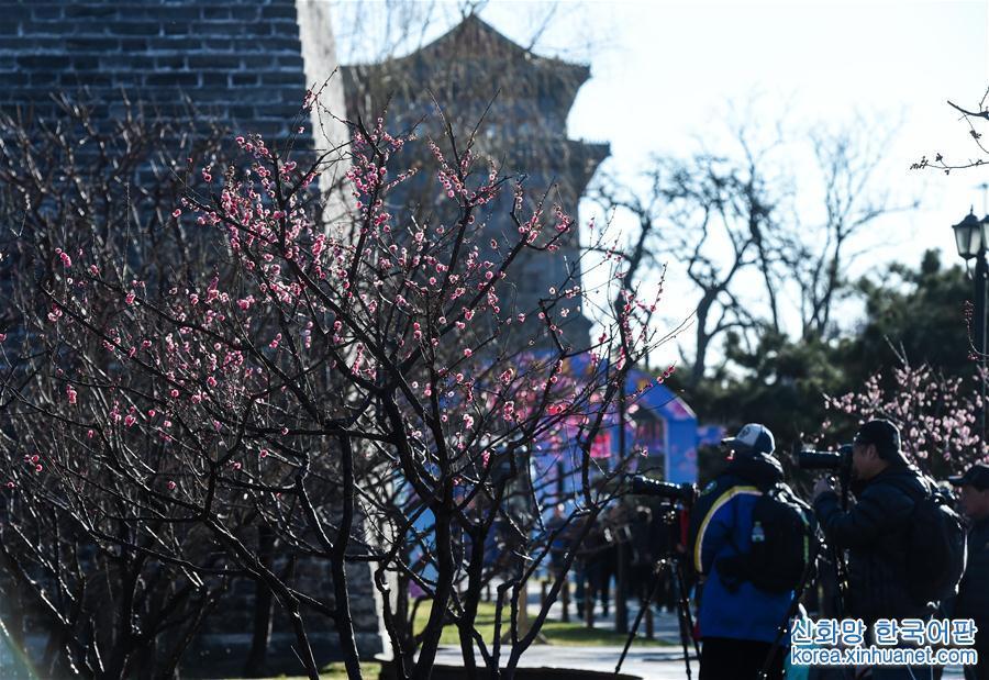 (環境)(1)北京:明城墻下梅花香