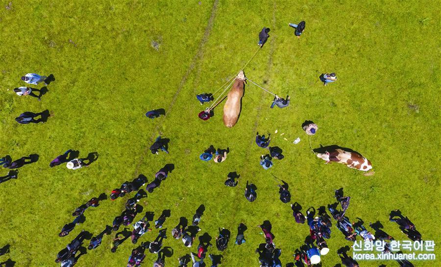 2017년 7월 17일, 쓰촨 량산(涼山) 이족자치주 자오줴(昭覺)현의 이족 주민들이 매년 여는 전통 명절 &amp;lsquo;훠바축제(火把節)&amp;rsquo;에서 숫소들이 힘겨루기를 하고 있다. [촬영/신화사 기자 쉐위빈(薛玉斌)]<br/>