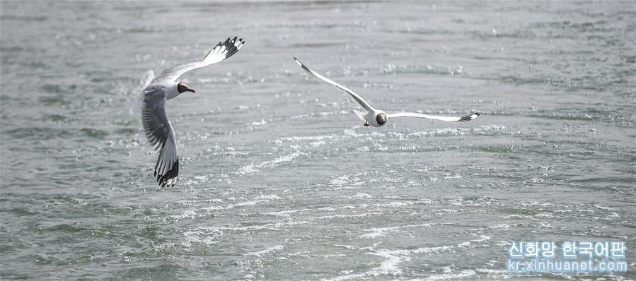(環境)(1)班公湖上水鳥歡