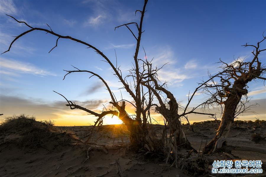 """(環境)(1)大漠""""怪樹林"""""""