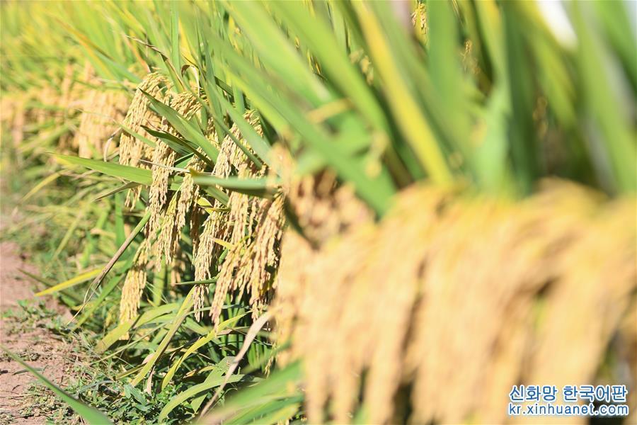 (圖文互動)(8)1046.3公斤!袁隆平第三代雜交水稻首次公開測産