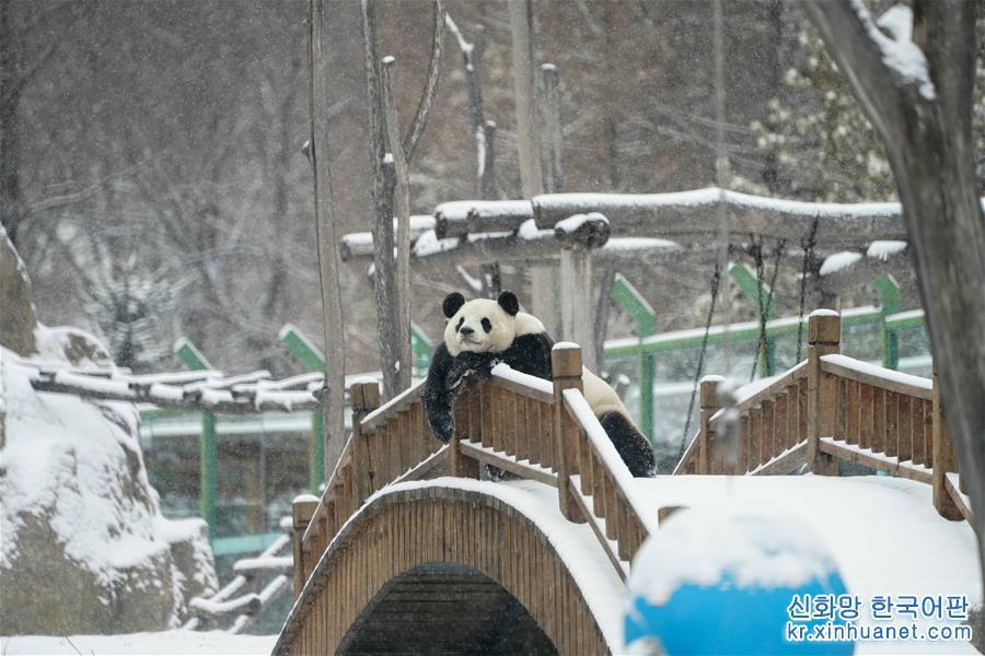 """(社會)(1)大熊貓享受""""雪季"""""""
