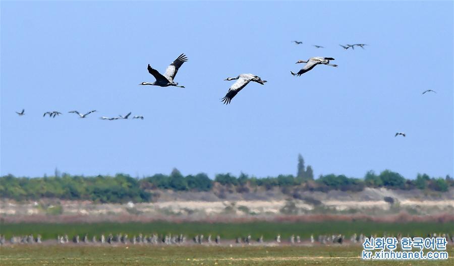 (生態)(1)大批候鳥飛抵鄱陽湖越冬