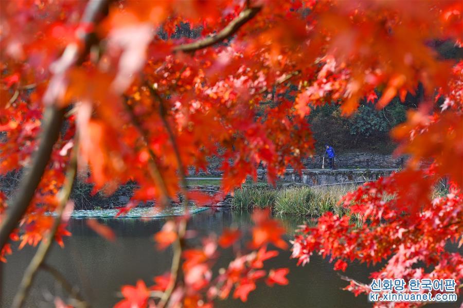 (環境)(9)江西廬山:楓葉美景迎客來