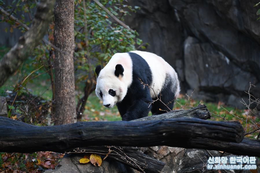"""(國際)(1)旅美大熊貓""""貝貝""""啟程回國"""