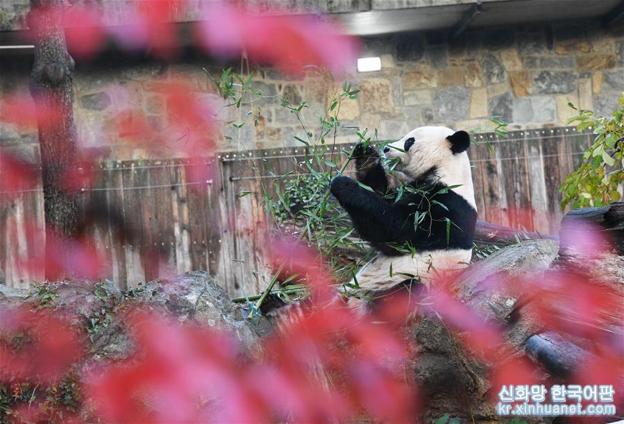 """(國際)(2)旅美大熊貓""""貝貝""""啟程回國"""