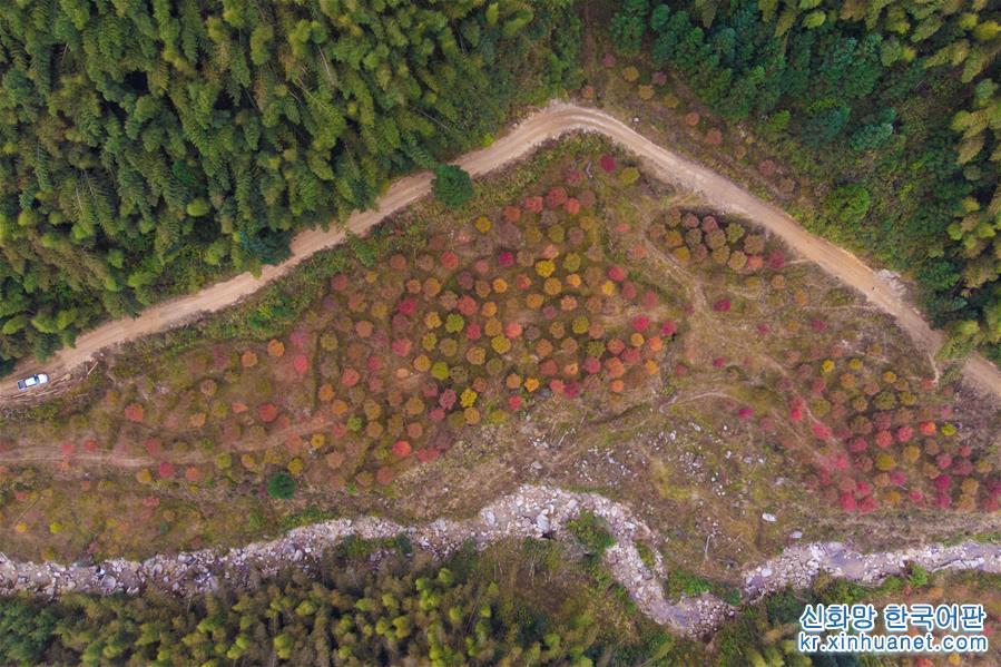 (環境)(1)楓葉飄紅引客來