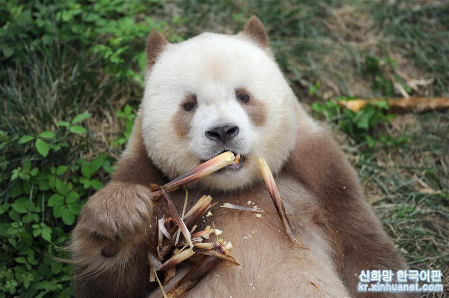 """(圖文互動)(1)全球唯一圈養棕色大熊貓""""七仔""""被終身認養"""