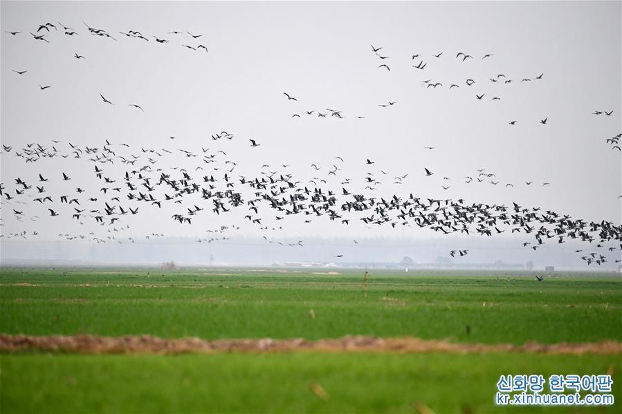 (環境)(1)黃河濕地群雁來臨