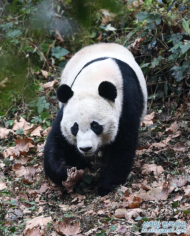 """(社會)(1)旅美大熊貓""""貝貝""""回到四川"""