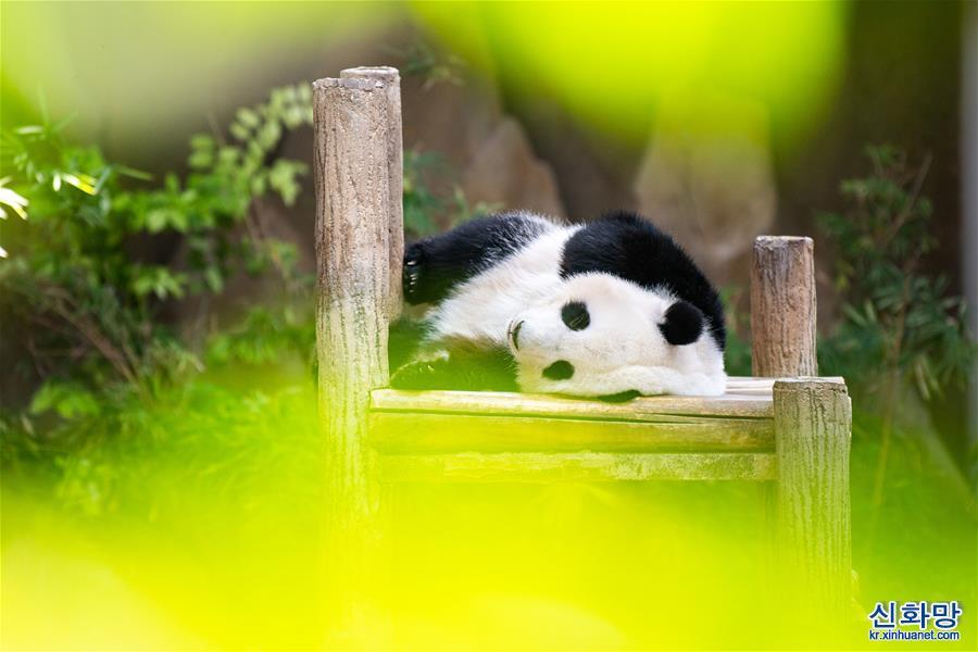 """(國際)(1)馬來西亞為在馬出生的大熊貓""""誼誼""""慶生"""