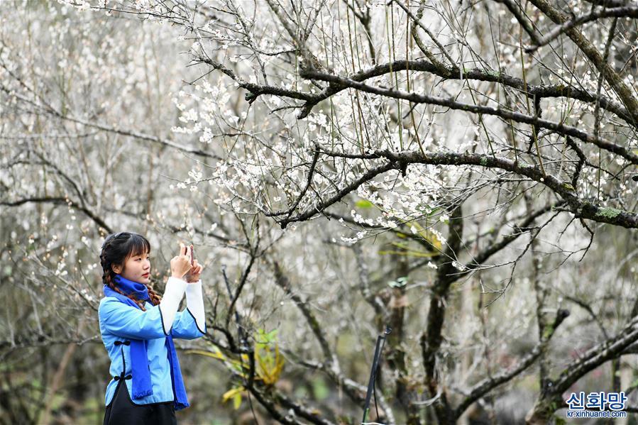 (環境)(1)貴州荔波:賞梅好時節
