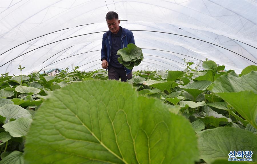 (經濟)(1)吉林安圖:山野菜經濟富農家