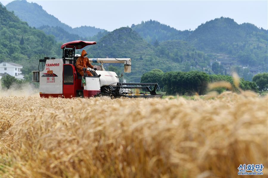 (經濟)(1)貴州思南:收獲冬小麥