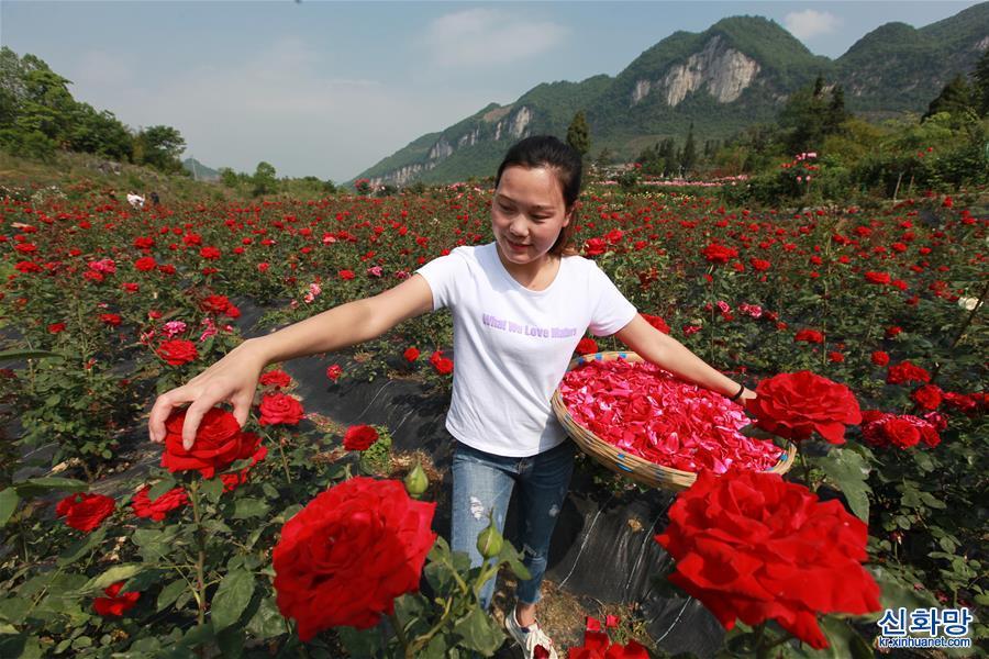 """#(經濟)(1)貴州畢節:""""鮮花經濟""""助農增收"""