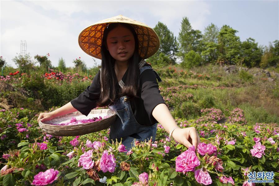 """#(經濟)(4)貴州畢節:""""鮮花經濟""""助農增收"""