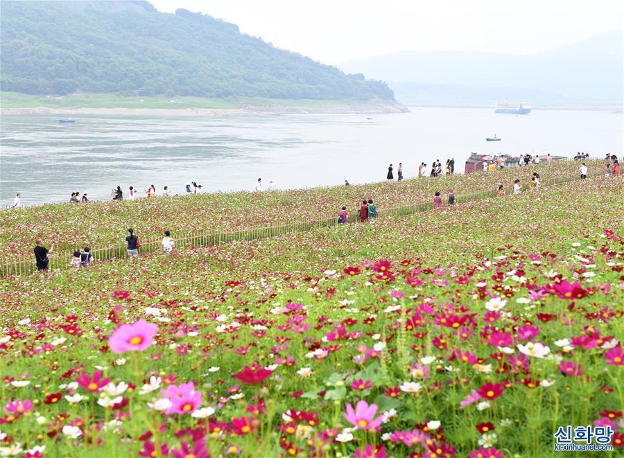 (春季美麗生態)(1)重慶:格桑花開長江畔