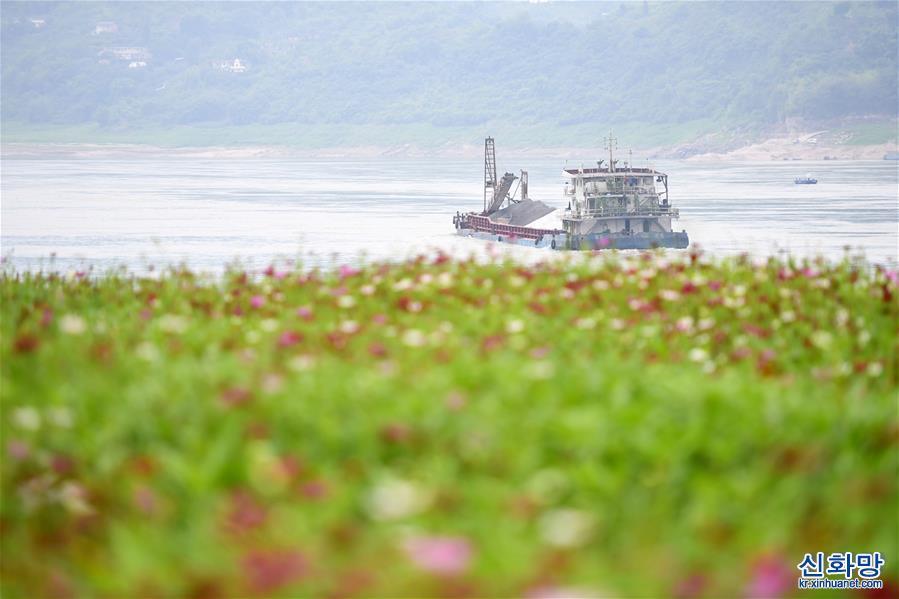 (春季美麗生態)(4)重慶:格桑花開長江畔
