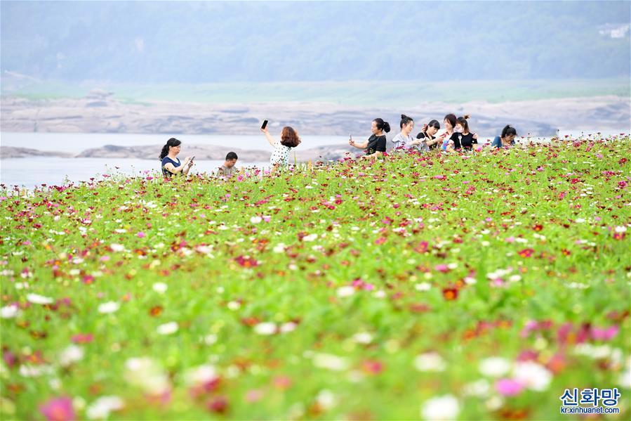 (春季美麗生態)(2)重慶:格桑花開長江畔