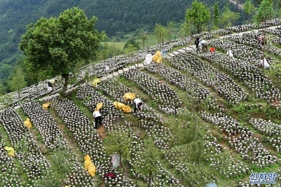 (經濟)(1)貴州劍河:發展高效山地農業助農增收