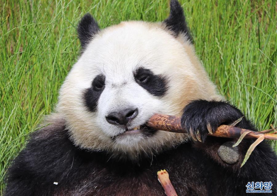 (環境)(1)九寨溝大熊貓園開園迎客