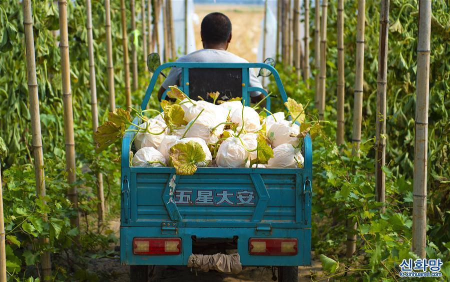 (經濟)(2)河北棗強:訂單香瓜助脫貧