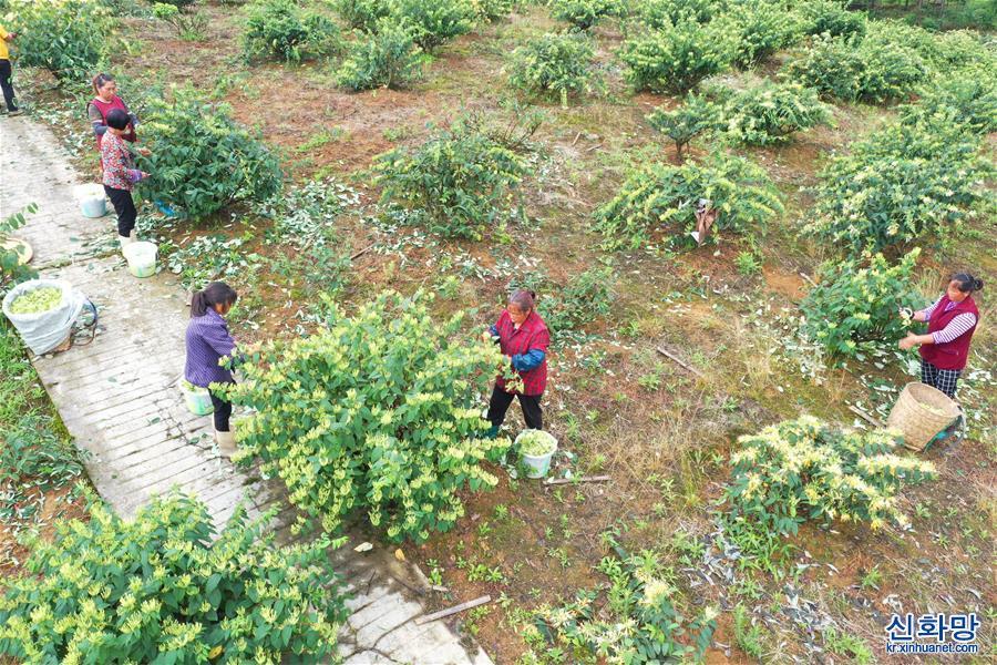 (經濟)(2)貴州綏陽:做大做強金銀花産業助農增收