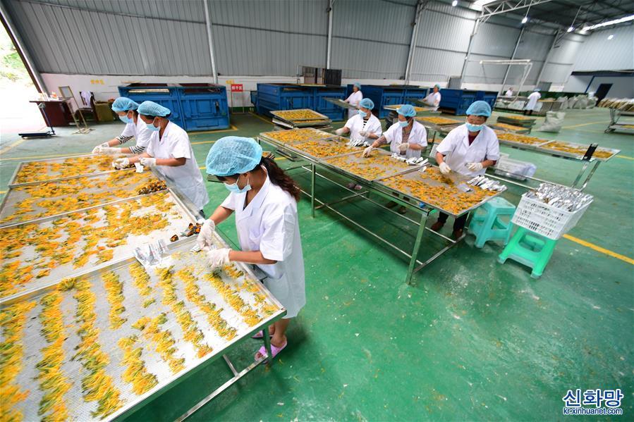 (經濟)(6)貴州綏陽:做大做強金銀花産業助農增收