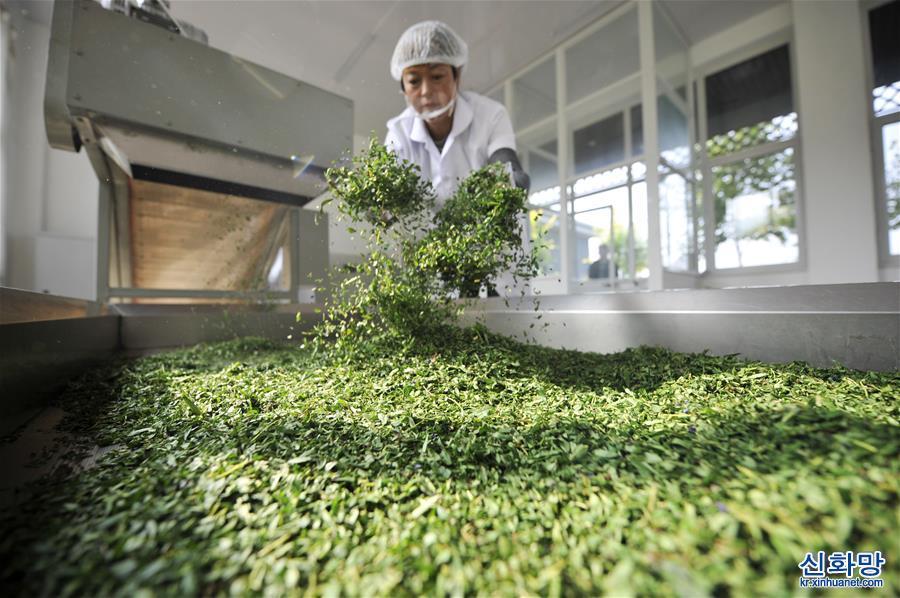 #(經濟)(1)河北灤平:延伸中藥材産業鏈 助力鄉村振興