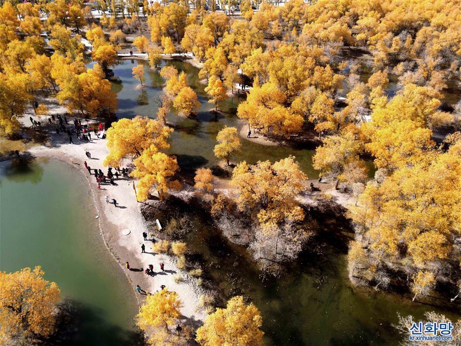 #(環境)(4)甘肅酒泉:金秋胡楊引客來
