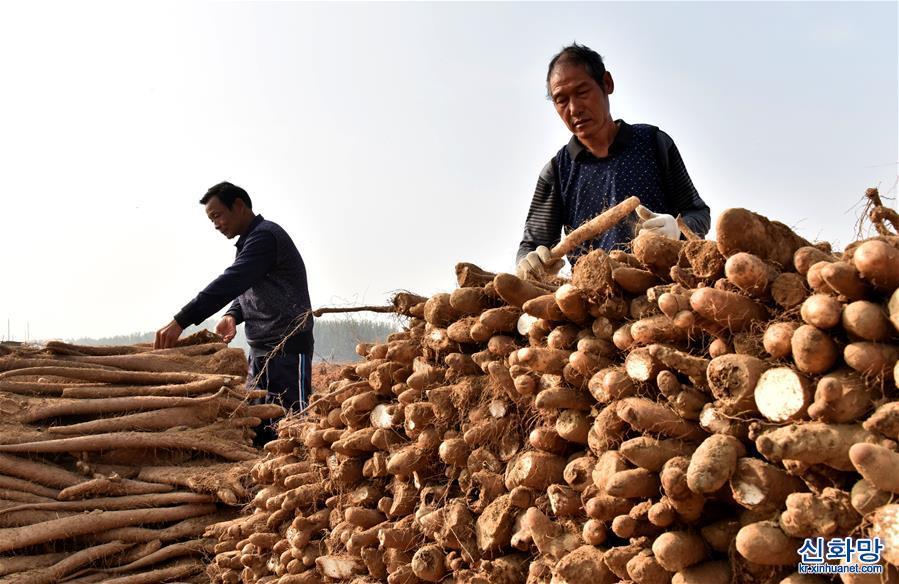 (经济)(1)河北邢台:山药种植助农增收