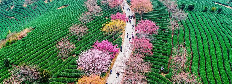 푸젠 룽옌: 벚꽃 차밭 상춘객 북적