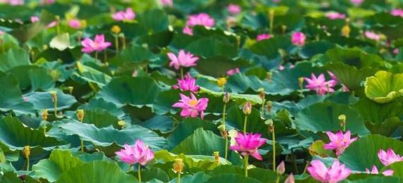 오늘의 훙후: 춤추는 물새와 향기로운 연꽃