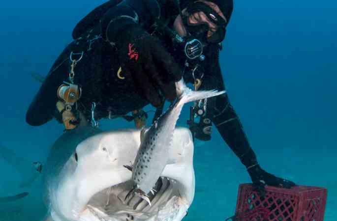 美 잠수원, 맨손으로 상어에게 먹이를 먹여