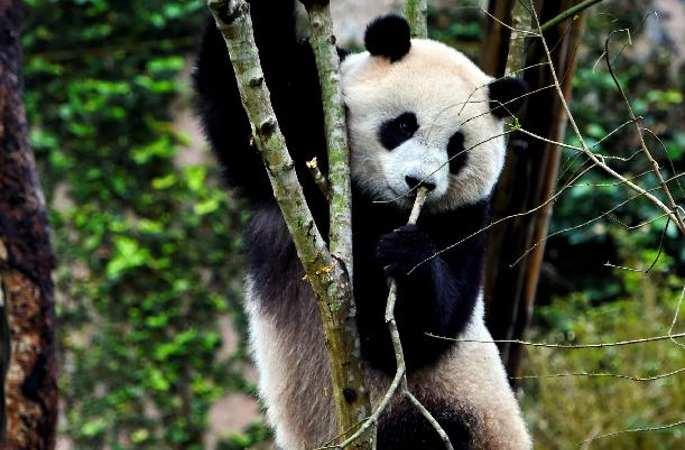 타이완 3세 판다 '위안자이', 500만 관광객 맞이