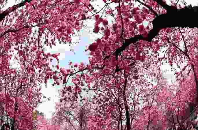 쿤밍, 관광객을 취하게 하는 '벚꽃'