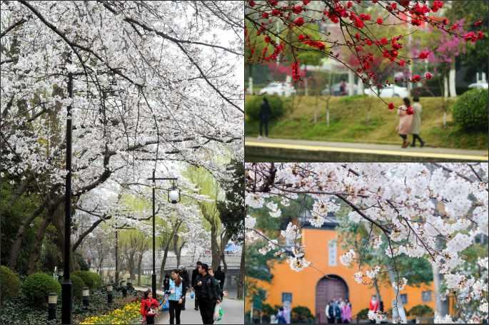 중국 각지 봄 나들이, 꽃구경 한창