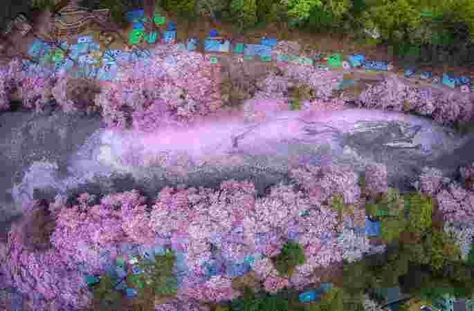 日, 봄날 벚꽃이 만발, 무척 아름다워