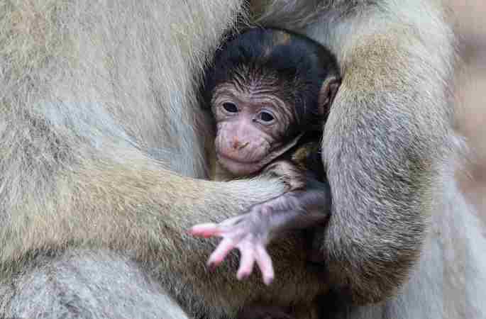 德 바버리마카크원숭이 '어미와 새끼의 따뜻한 순간' 포착