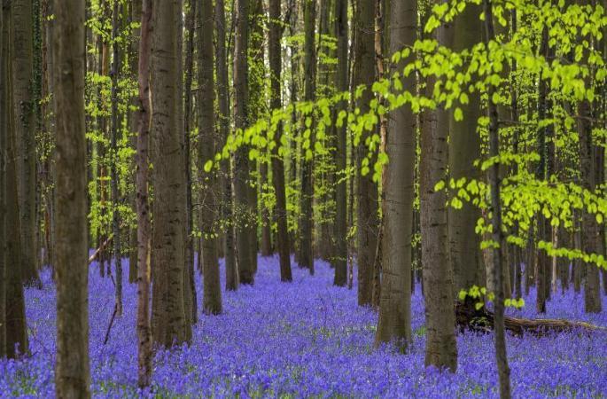 초롱꽃으로 뒤덮힌 숲, 마치 동화세계 같아