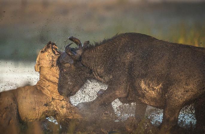 아프리카 어미물소가 새끼를 보호해 뿔로 사자를 들이박아 죽여