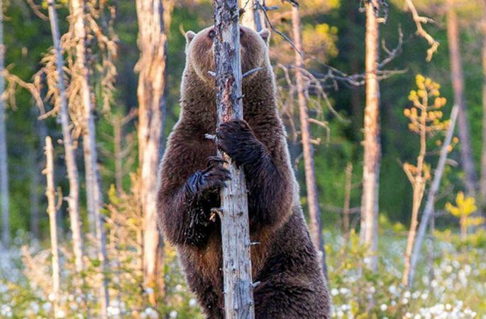 """핀란드 회색곰, 나무 뒤에 숨어 """"스타일 자랑"""""""