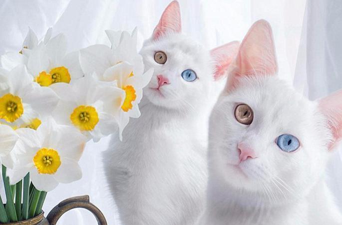 '귀염주의'! 양 눈 색깔 다른 쌍둥이 고양이 화제