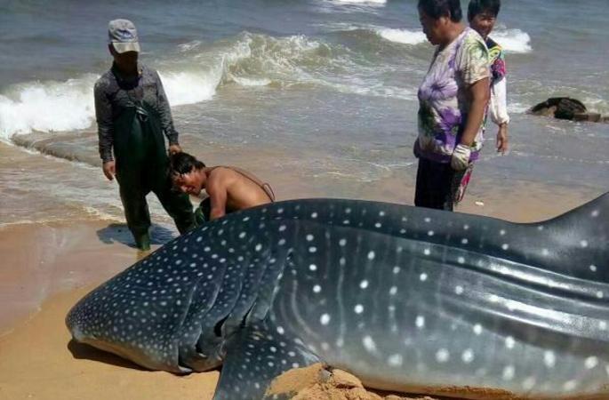 산둥 옌타이 1.5톤 고래상어 잡은 어민