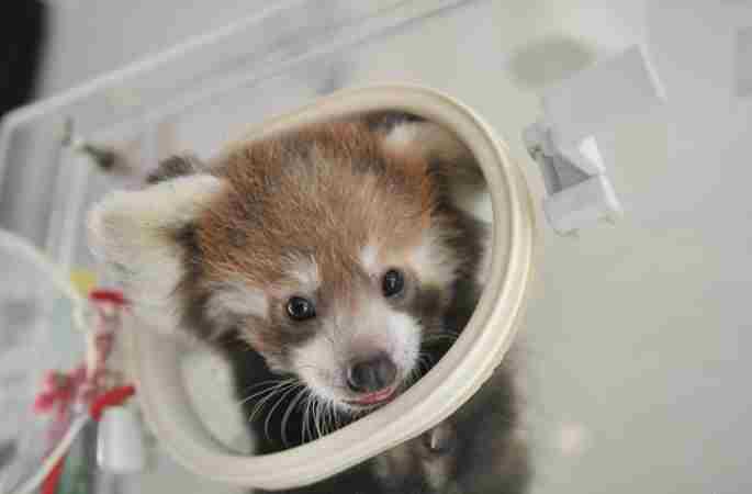 윈난 야생동물원 최초로 레서판다 번식에 성공