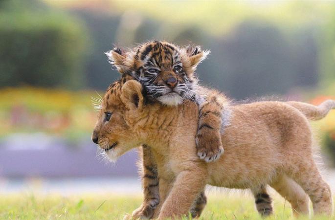 일본 동물원, 호랑이 새끼의 귀여운 모습