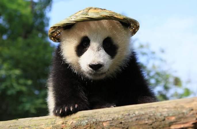 네티즌의 마음을 녹여 주는 귀여운 아기팬더