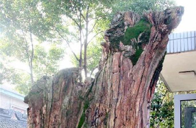 """1.5억 년 전 """"사막의 신"""" 대형규화목화석 쑤저우에 등장"""