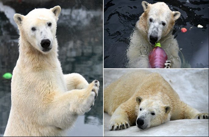 다양한 자세를 보여준 귀여운 북극곰